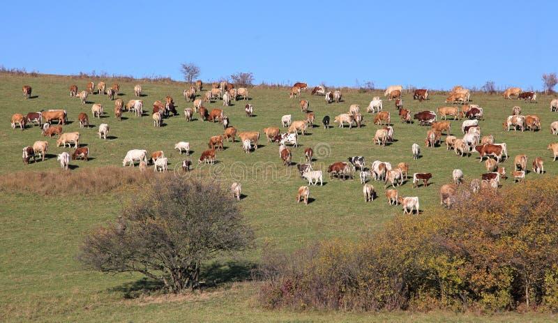 Download Kor på äng arkivfoto. Bild av beta, land, naturligt, boskap - 27284292