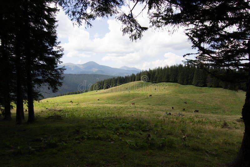 Kor på äng med bergområde och blå bakgrund för molnig himmel fotografering för bildbyråer