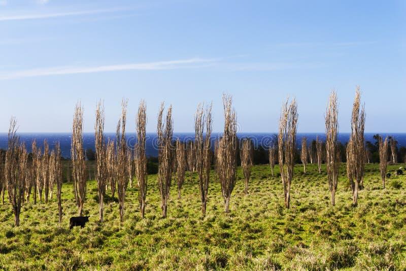 Kor på den stora ön Hawaii som betar bland träden arkivfoto