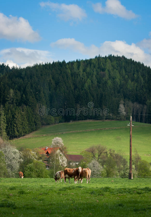 Kor på en grön äng på en bakgrund av berg och blå himmel fotografering för bildbyråer