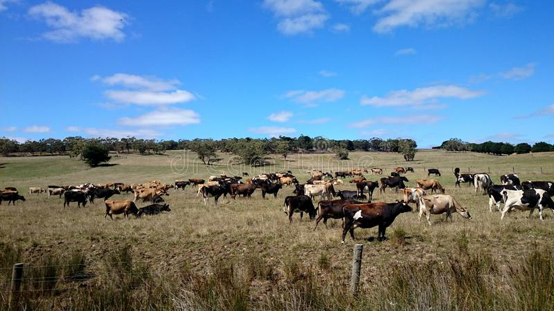 Kor på en lantgård royaltyfria foton