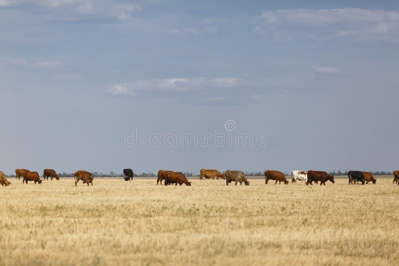 Kor på en sätta in Många lantliga kor på en betande bakgrund Organiskt naturligt mjölka och mejeriproduktbegreppet kopiera avstån arkivfoto