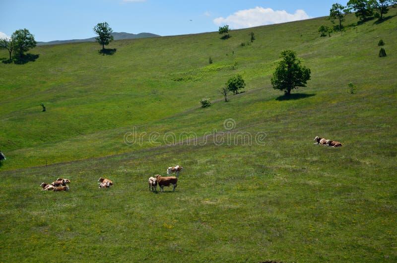 Kor på ett grönt landsfält arkivfoto