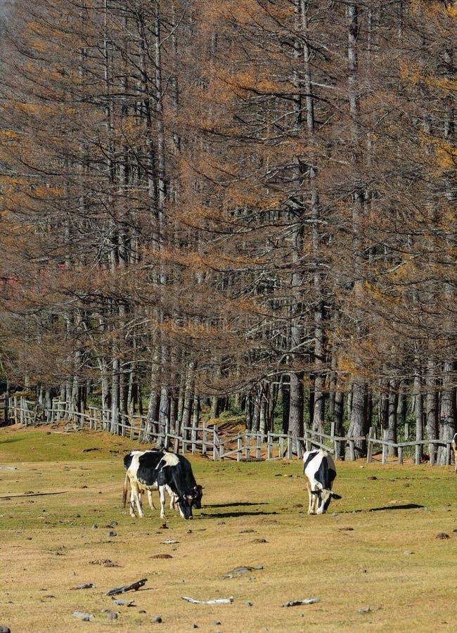 Kor på gräsfältet i höst arkivfoto
