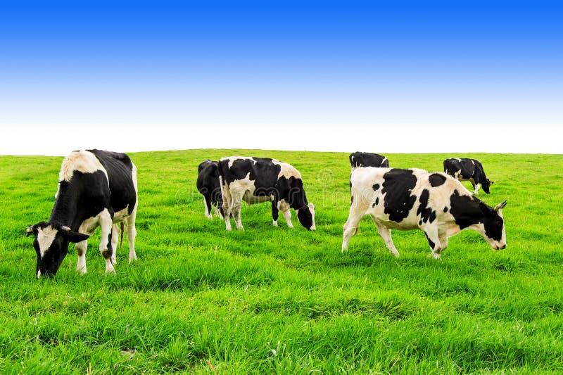 Kor på grönt fält och blå himmel arkivfoton