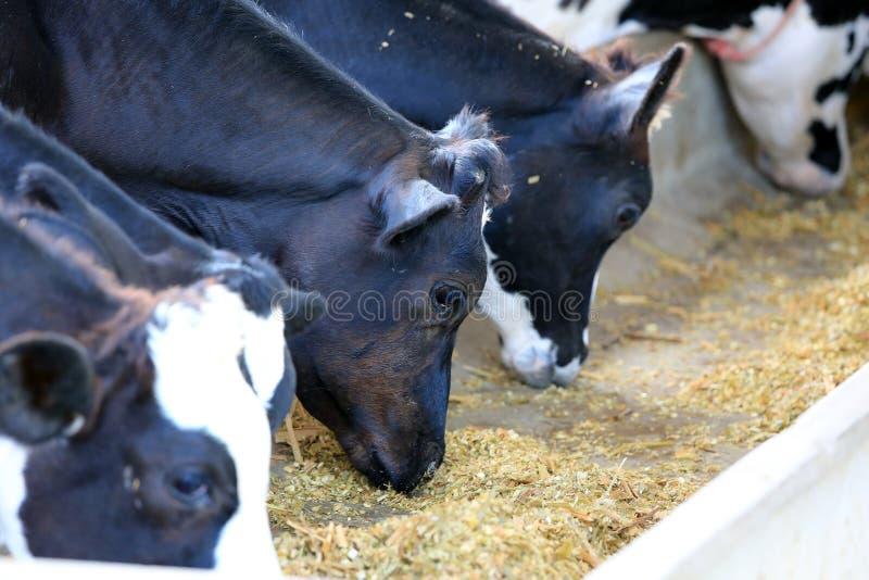 Kor på lantgård royaltyfri fotografi
