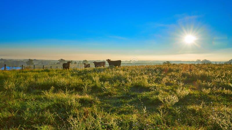 Kor på soluppgången arkivfoto