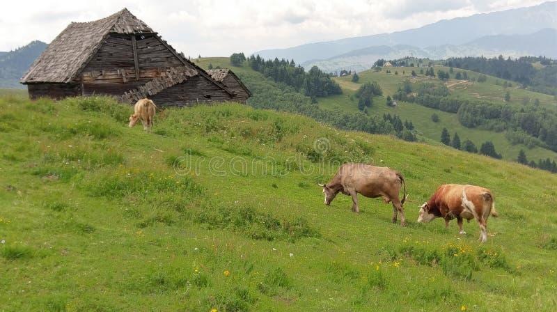 Kor som betar i fältet, Moieciu, kli, Rumänien arkivfoto