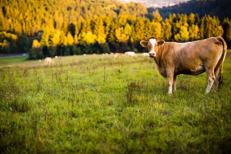 Kor som betar på gräsplan, betar royaltyfri fotografi