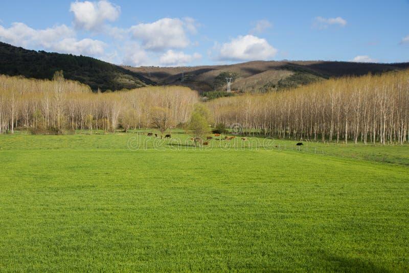 Kor som betar på grön äng royaltyfria bilder