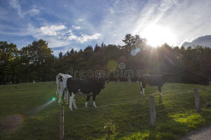 Kor som betar på, betar i lägre Rhenregion, Tyskland royaltyfria bilder