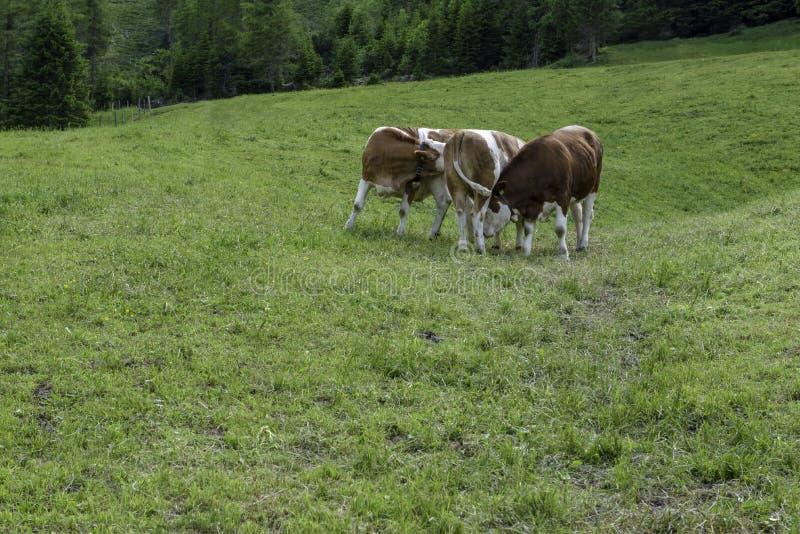 Kor som före och efter slåss lunchen arkivbild