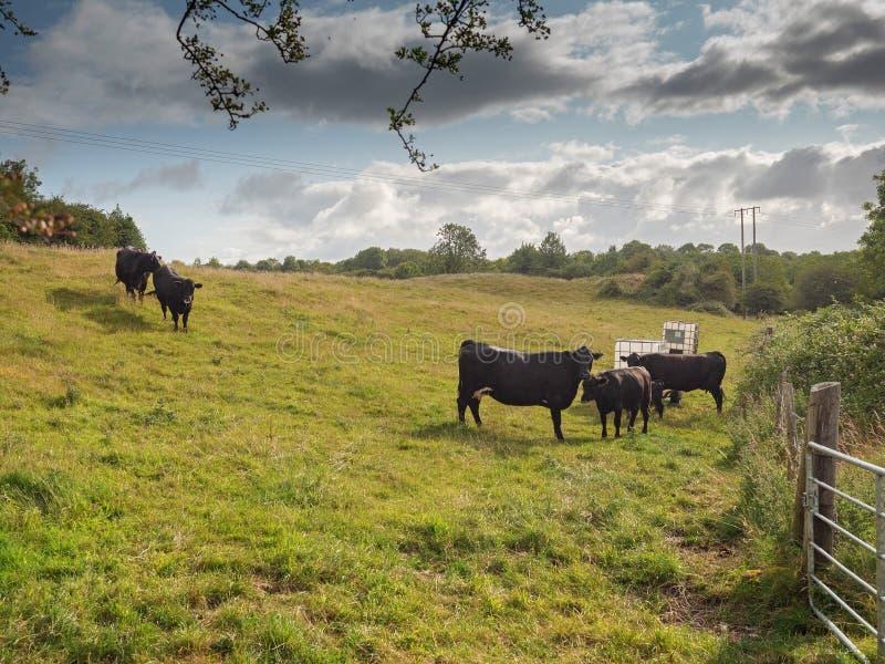 Kor som kommer att dricka vatten på en varm sommardag för att bevattna ho åkerbruk affär för molnig himmel arkivbild