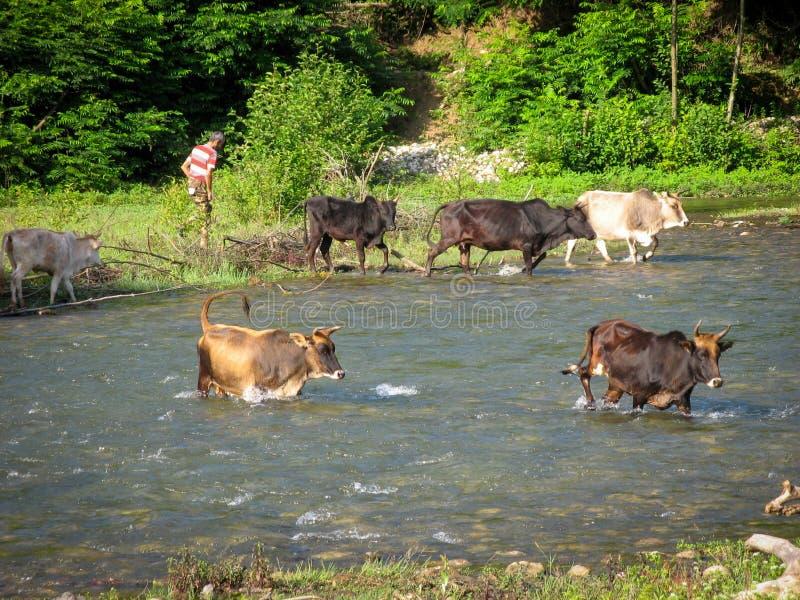 Kor som korsar flodbygdbonden Kor som korsar floden i bygden på en bakgrund av gröna träd och manbonden arkivbild