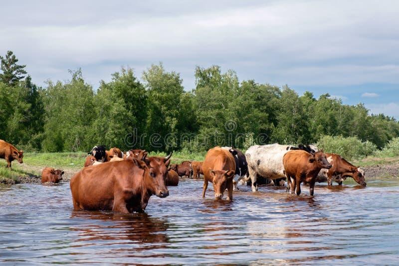 Kor som korsar floden på en sommardag fotografering för bildbyråer