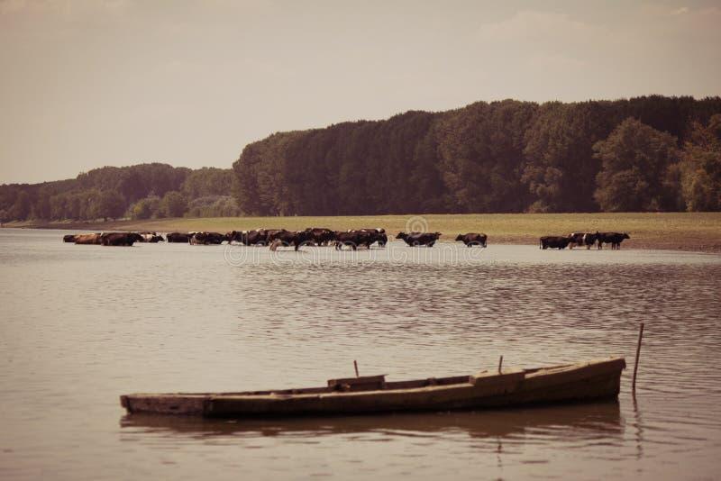 Kor som kyler i floden arkivfoton