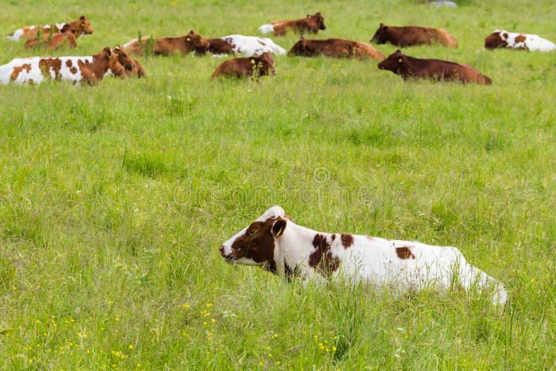 Kor som ligger på ett grönt gräs- fält royaltyfri foto