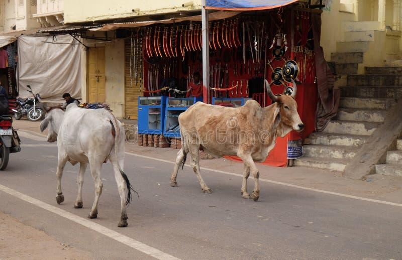 Kor som omkring strosar i staden av Pushkar, Indien arkivbilder