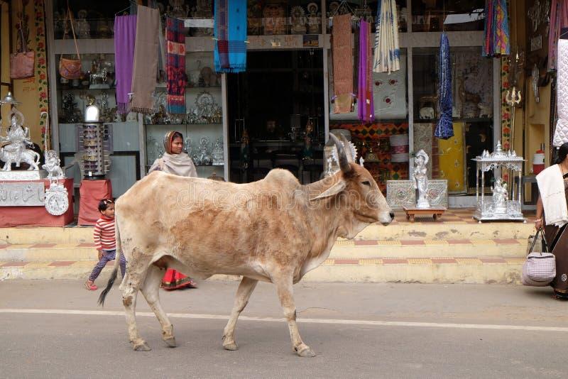 Kor som omkring strosar i staden av Pushkar, Indien arkivfoton