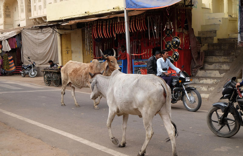 Kor som omkring strosar i staden av Pushkar, Indien royaltyfri fotografi