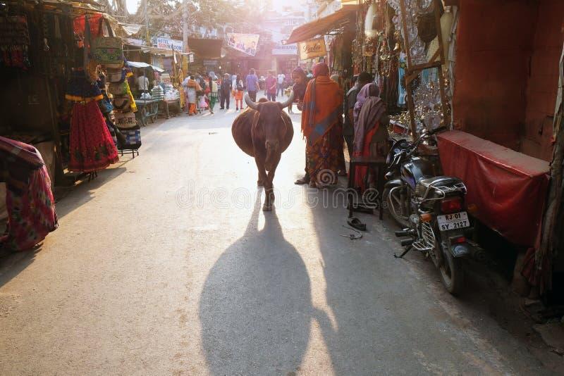 Kor som omkring strosar i staden av Pushkar, Indien arkivbild