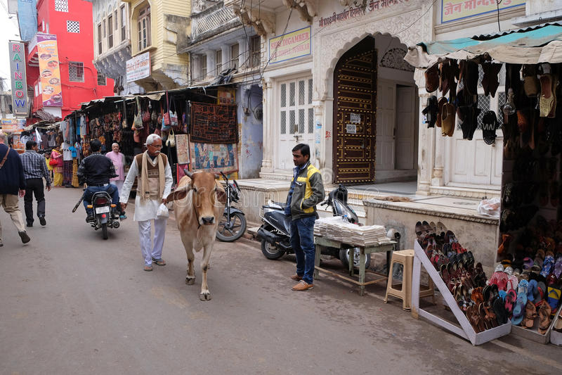 Kor som omkring strosar i staden av Pushkar, Indien royaltyfri foto