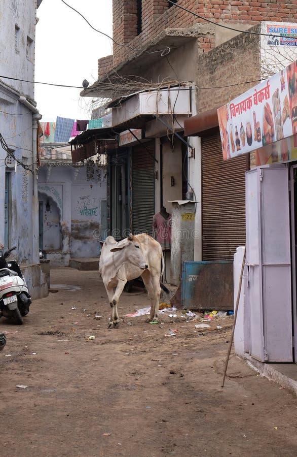 Kor som omkring strosar i staden av Pushkar, Indien royaltyfria bilder
