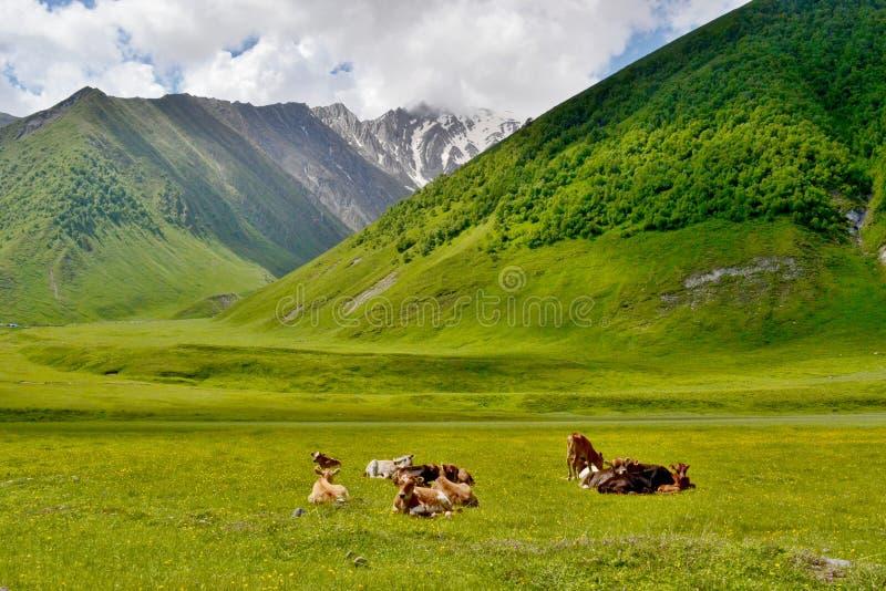 Kor som vilar på änghöjdpunkten i bergen royaltyfri bild