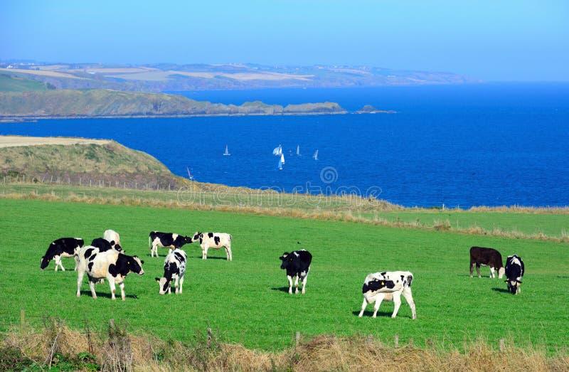 Kor är på ängen royaltyfria bilder