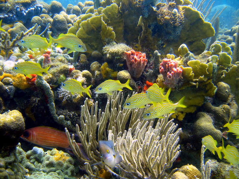 Koraal en vissen in Caraïbische overzees stock foto