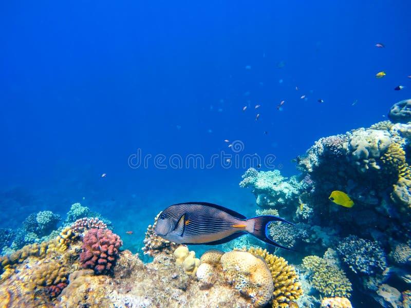 Koraal en vissen in het Rode Overzees Egypte royalty-vrije stock afbeeldingen