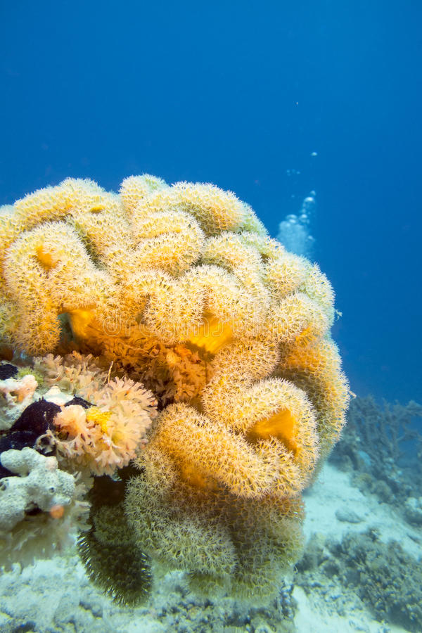 Koraal reaf met het gele koraal van het paddestoelleer bij de bodem van tropische overzees royalty-vrije stock foto