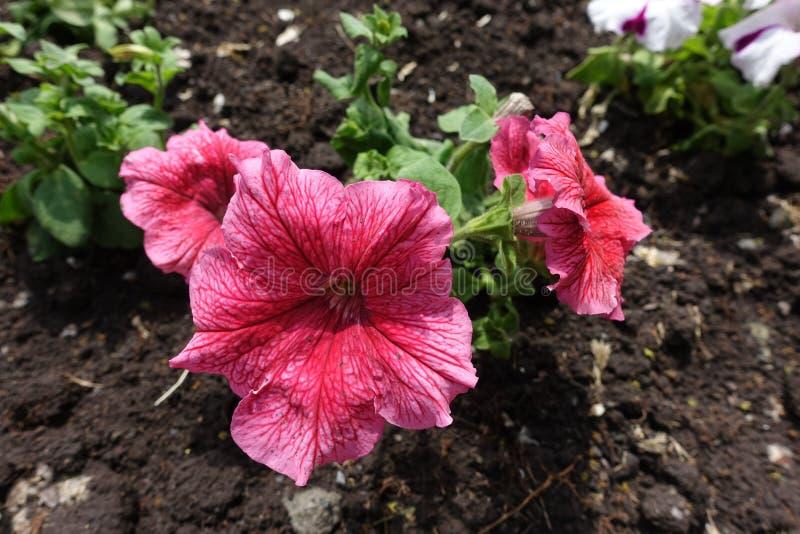 Koraal rode bloemen van petunia in het bloembed stock fotografie