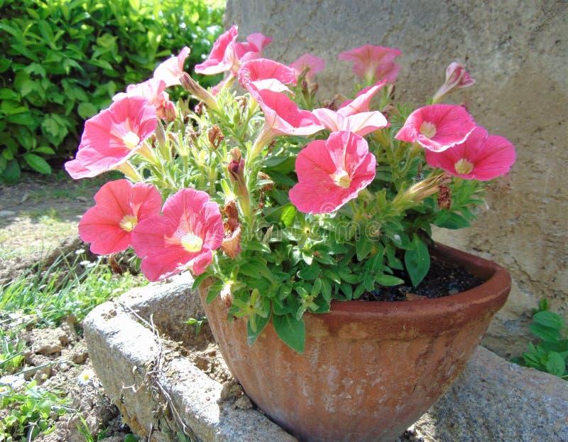 Koraal-roze petunia in bloempot het groeien in de tuin in openlucht, Italië stock foto