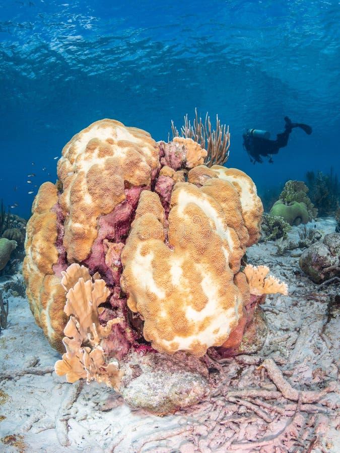 Koraalbleken in Bonaire Caraïbisch duikvakantie stock foto