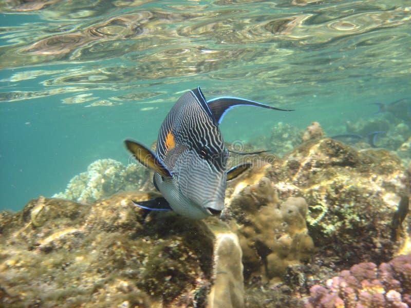 Koraalrif en coralfishes stock afbeelding