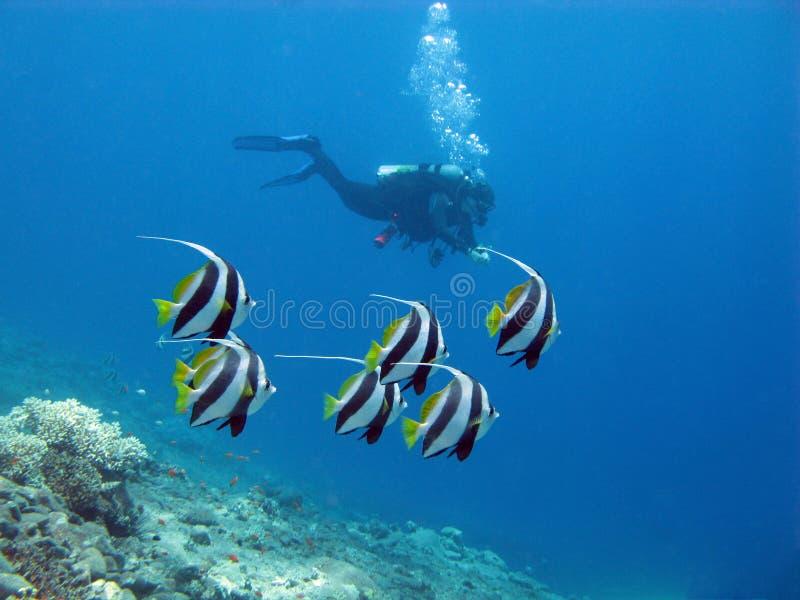 Koraalrif en duiker royalty-vrije stock afbeeldingen