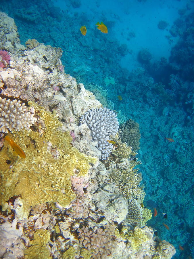 Koraalrif en gele vissen royalty-vrije stock foto's