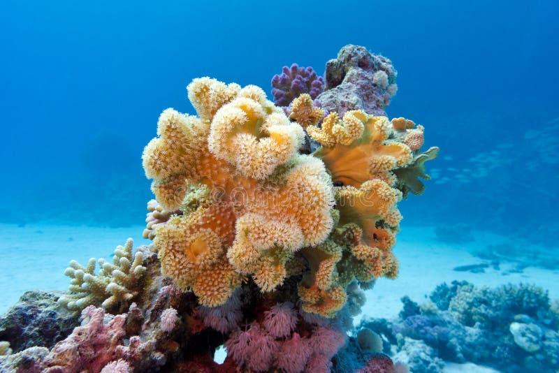 Koraalrif met geel zacht koraal sarcophyton bij de bodem van tropische overzees binnen op blauwe waterachtergrond