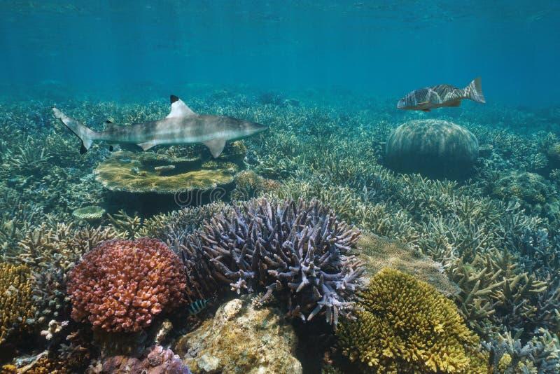 Koraalrif met haai en een tandbaars Vreedzame oceaan royalty-vrije stock foto's
