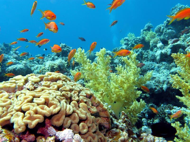 Koraalrif met hersenen en zachte koralen op botto royalty-vrije stock foto's