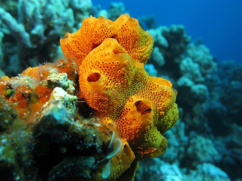 Koraalrif met mooie grote oranje overzeese spons, onderwater stock fotografie