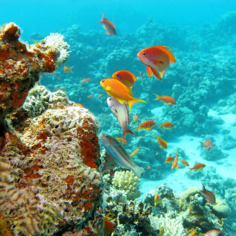 Koraalrif met ondiepte van vissen scalefin anthias in tropische overzees stock foto