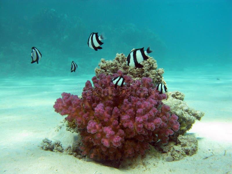 Koraalrif met steenachtig koraal stock afbeelding