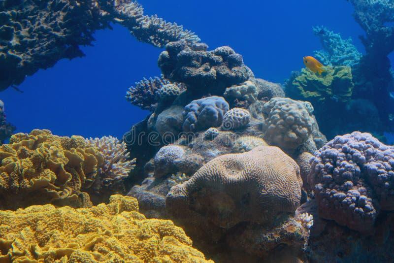 Koraalrif, Rode Zee stock fotografie