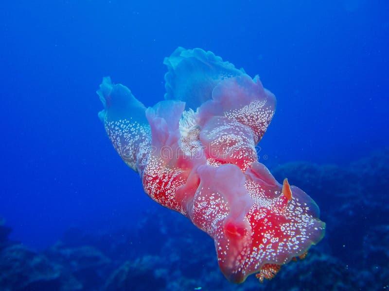 Koraalrif Spaanse Danser nudibranch stock fotografie