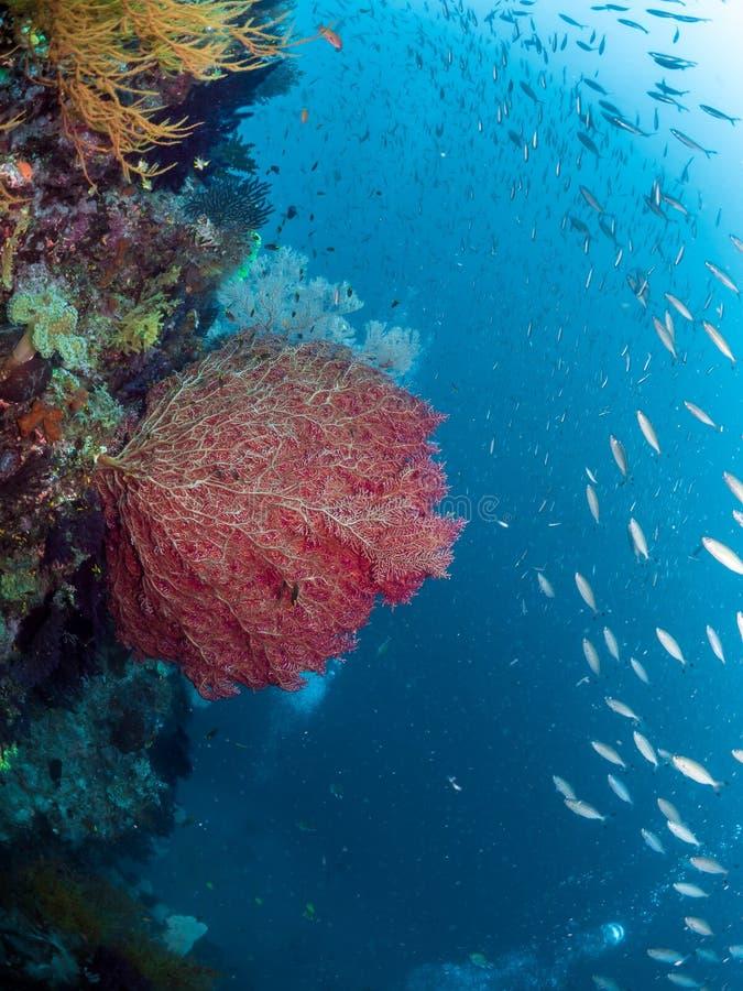 Koraalriffen, Grote rode overzeese ventilator, Raja Ampat, Indonesië royalty-vrije stock foto's