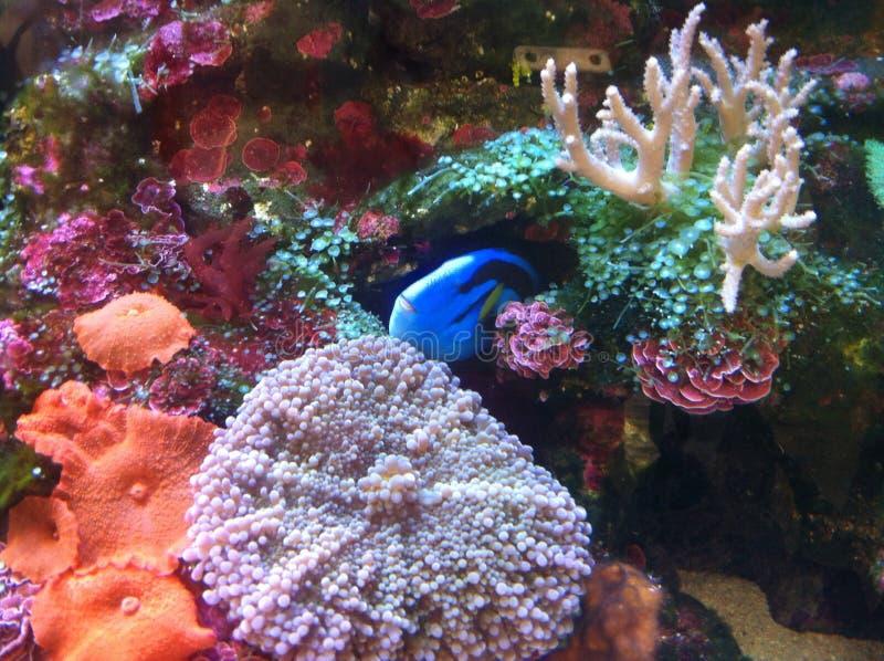 koral zdjęcia royalty free