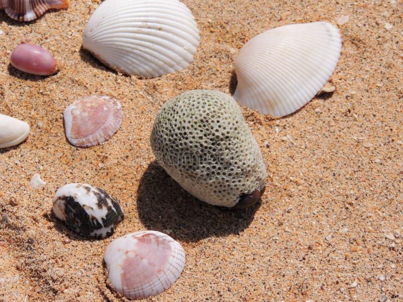 Koral i skorupy zdjęcie royalty free