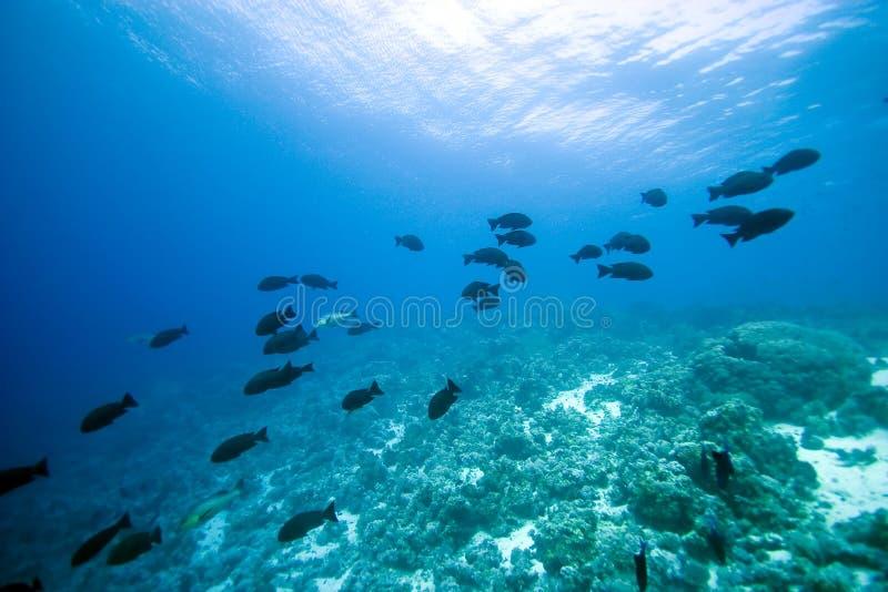 koral ryba zdjęcie royalty free